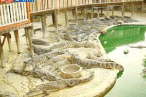 Trang trại cá sấu ở Siem Reap