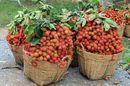 Thăm miệt vườn Bến Tre ăn chôm chôm thỏa thích với chỉ 20.000 đồng