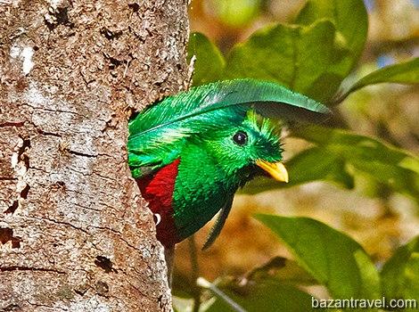 resplendent-quetzal-11