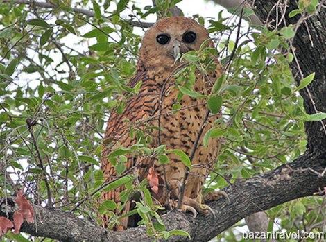 pels-fishing-owl1