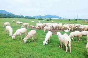Chụp ảnh thỏa thích FREE tại trại cừu siêu cute ở Vũng Tàu