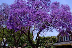 Đà Lạt tháng 3 - Lãng mạn mùa hoa phượng tím
