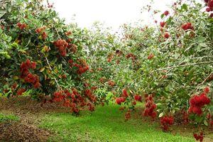 Khám phá vườn trái cây Vĩnh Long