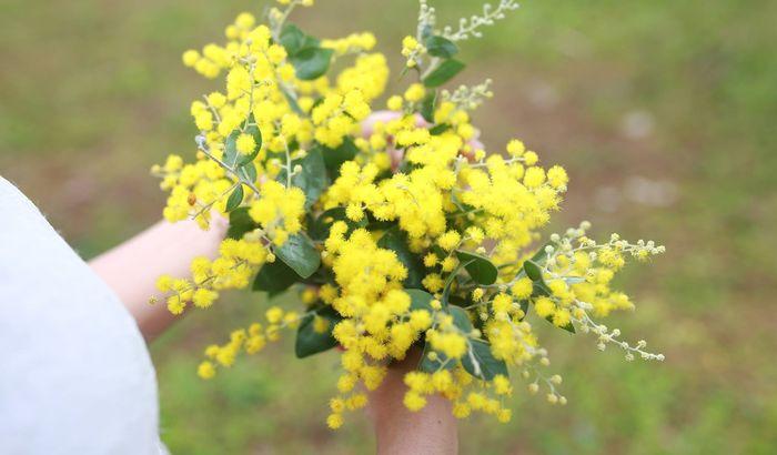 mimosa-da-lat