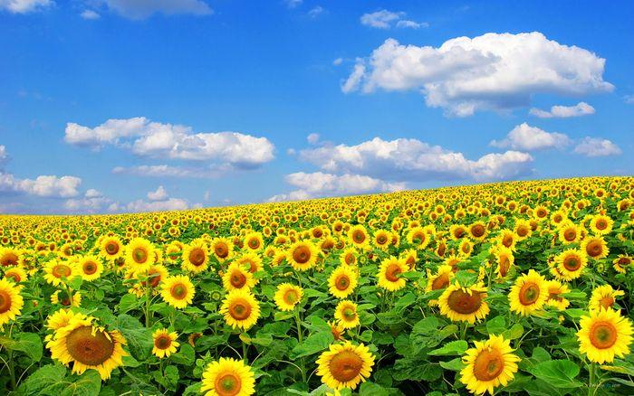 flower-huong-duong