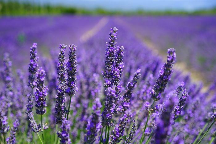 hoa-lavender-da-lat-2