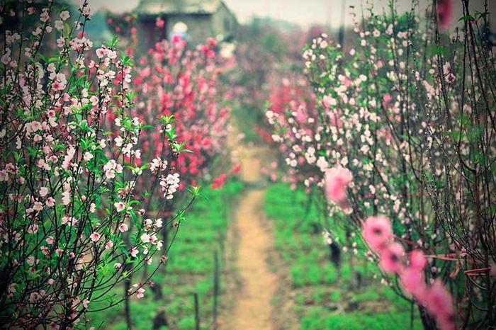 Hoa đào mùa xuân vườn hoa Nhật Tân
