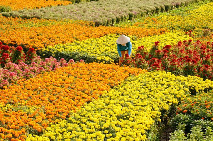 Làng hoa kiểng Cái Mơn rực rỡ khi vào mùa