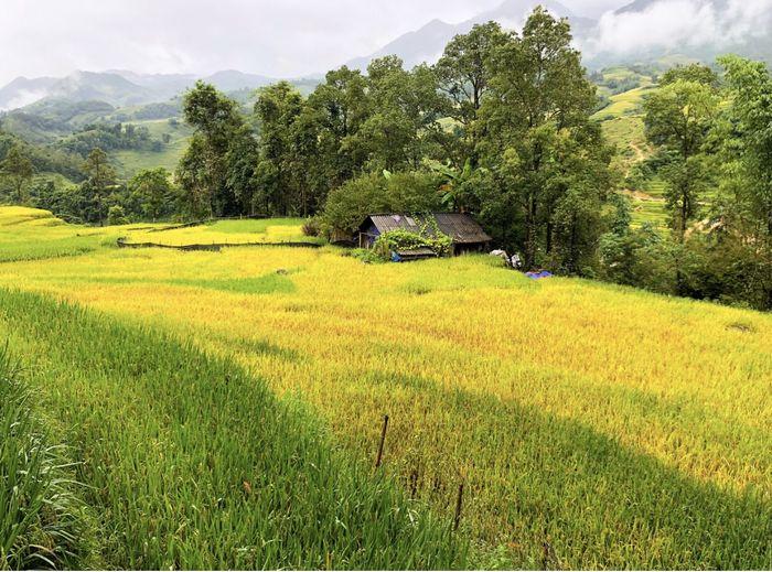 Tháng 9 ở Sapa là mùa lúa chín vàng