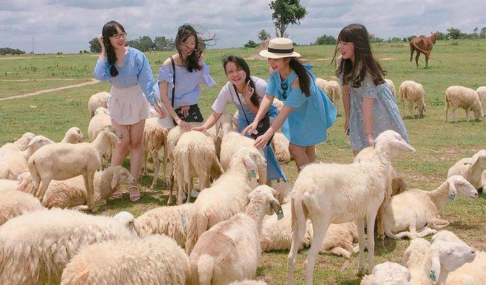 Vui đùa cùng những chú cừu dễ thương, thân thiện ở đồi cừu Suối Nghệ